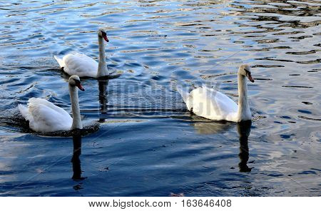 beautiful white swans swin with grace on the waves