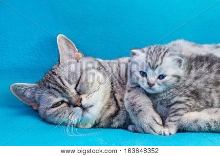British shorthair black silver tabby spotted mother cat lying with young kitten on blue garments