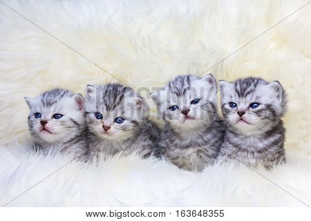 Nest with british shorthair silver tabby kittens in a row