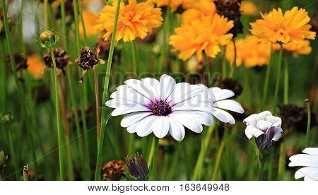 White n purple Marguerite Flower captured in a day light