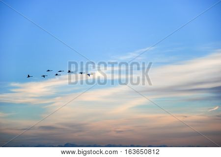 Silhouettes of migrating swans by a blue sky at evening