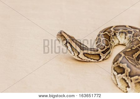 Big Reticulated Python or Boa on floor