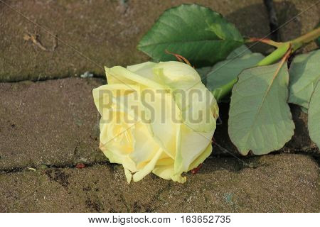 A single white rose on the pavement of a cemetery