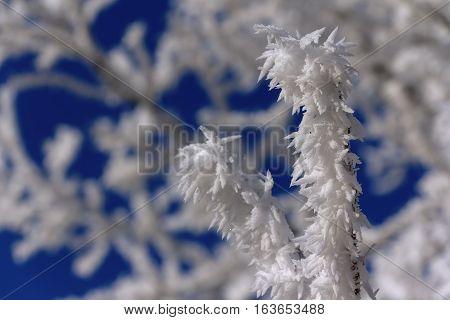 Frostbitten twig in frosty day with blue sky in winter