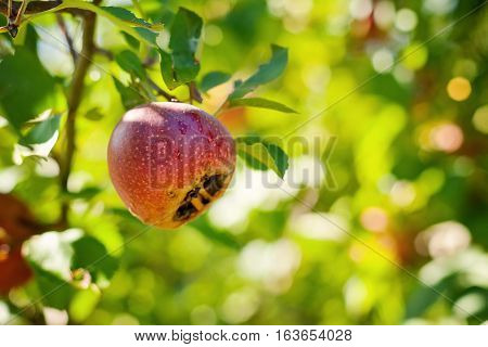 Italian typical rotten apple on the tree poster