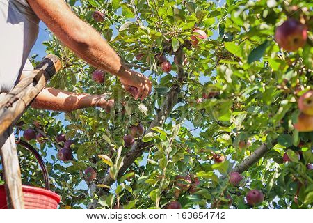 Worker picking Italian typical apples from tree