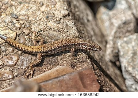 Close-up on a brown lizard near the railroad tracks. Regenerating tail