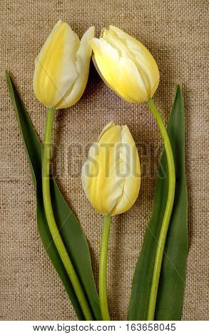bouquet of yellow tulips on burlap background