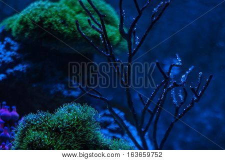 Gorgonaria Euplexaura sp. Sea Fan.Clavularia. Reef tank marine aquarium. Blue aquarium full of plants. A tank filled with water for keeping live underwater animals. Night view.