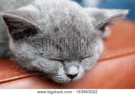 Cute Sleeping Kitten Resting And Relaxing, Feline Animal
