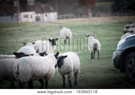 Sheep Fighting Over Territory In A Farm