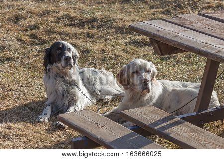 two splendid specimens of setter, a type of gundog used for hunting.