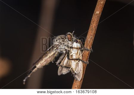 robberfly eating another fly on tree limb black background