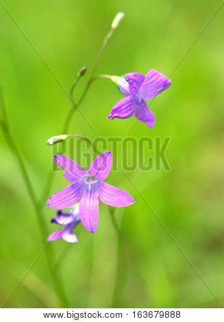 Beautiful bellflowers on blur green background closeup