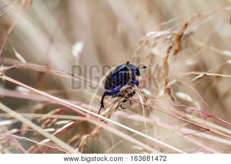 Close view of insect dung beetle (subfamily Scarabaeinae) in a meadow.