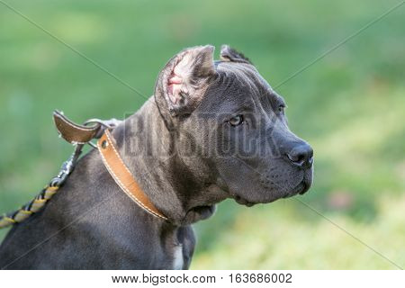 Young Cane Corso dog on the background of a green grass.Selective focus