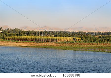 Sugarcane crops with palm trees along the shore of the Nile River in Egypt Africa