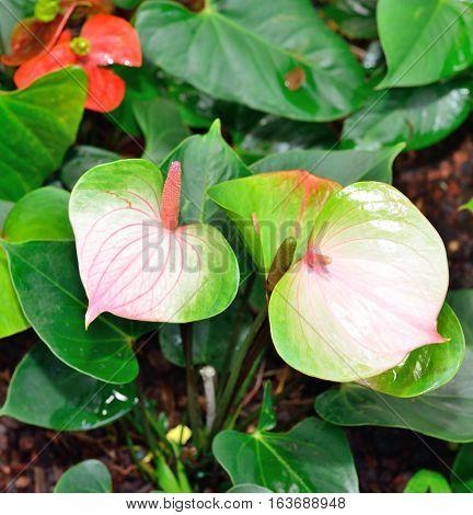 Obake Anthurium Flower
