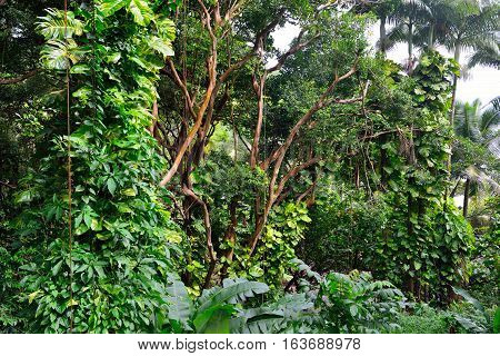 Tropical Forest In Hawaii