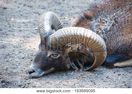 One wild male bighorn sheep lying on the floor