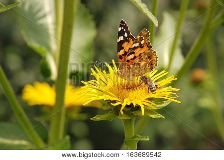 Honey bee and butterfly covered with yellow pollen drink nectar from yellow flowers and pollinating them