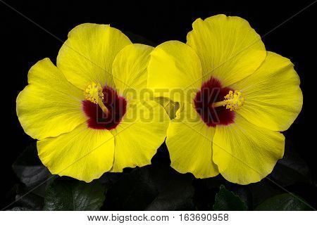 Close-up of yellow sinensis hibiscus flower. Photography of nature.