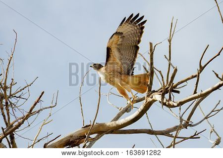 A red tailed hawk jumps about to soar off of a desert branch in Arizona on a cloudless day.