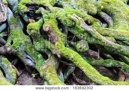 Detailed nature floral concept. Closeup of green moss on roots of trees