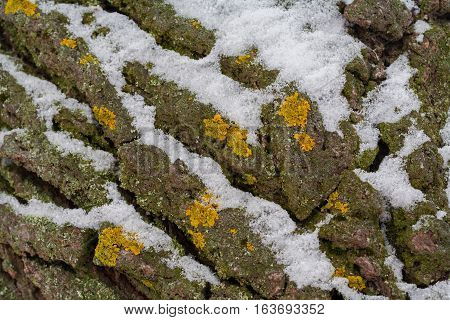 Winter. Poplar bark with fragments of yellow lichen moss. In the crevices of snow.