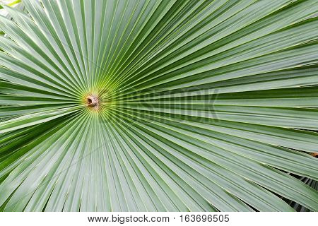 Green fan palm leaf for background texture