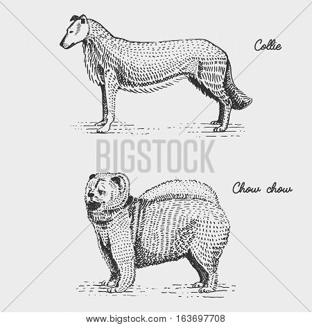 dog breeds engraved, hand drawn vector illustration in woodcut scratchboard style, vintage species. collie and chow chow