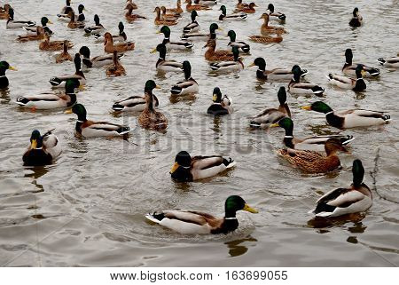 ducks and drakes on the lake. large concentration