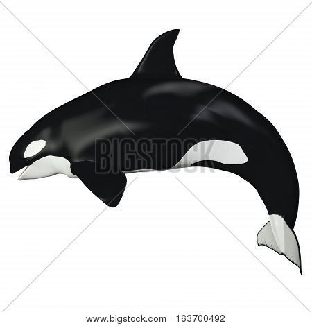Orca Female Whale 3D illustration - The Killer Whale also known as Orca is one of the largest predators of the oceans and is very intelligent.