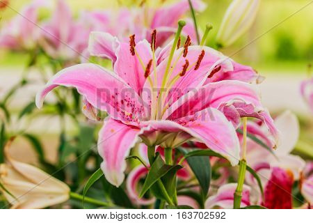 Pink lilly in the garden and tone color