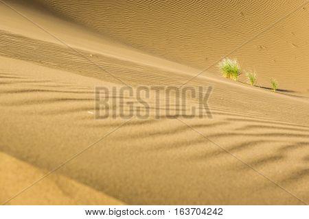 Plants on sand dune of Maranjab Desert in Iran