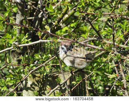 Tree Sparrow perched on a branch in a hawthorn hedge