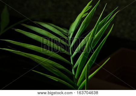 Howea Green palm leaf isolated on black