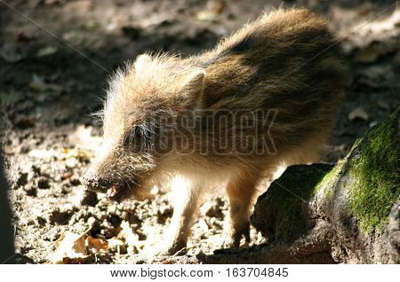 Closeup of a young wild boar piglet in autumn forest
