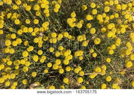 Small yellow flowers growing on wild meadow close up Top view