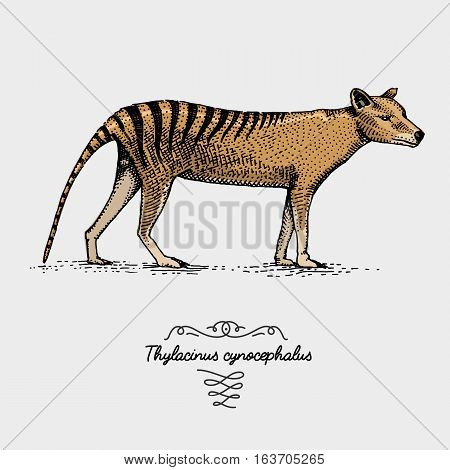 Tasmanian wolf Thylacinus cynocephalus engraved, hand drawn vector illustration in woodcut scratchboard style, vintage drawing australian extinct species