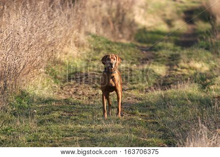 Cute hungarian breed vizsla dog looking toward the camera in summer forest