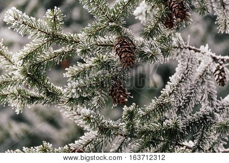 Snow, green pine cones which are adorned