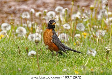 An American Robin stands in the dandelions. These red-breasted grey birds can be found throughout Iowa year-round.