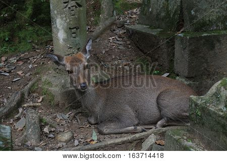 A deer rests at ancient Nara in Japan