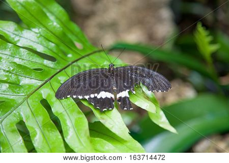 Broken Win Black Butterfly