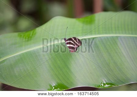 Butterfly Heliconius Charitonius On Green Leaf