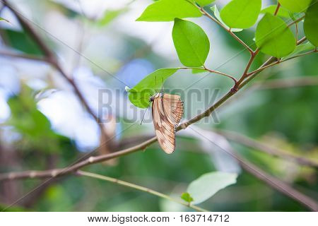 Dryas Iulia Butterfly On Green Leaf