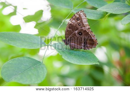 Morpho Peleides Butterfly On Green Leaf