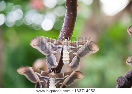 Moth Samia Ricini Butterfly In Branch