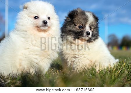 Little Puppies. Pomeranian Puppies Playing Outdoor.pomeranian Spitz-dog